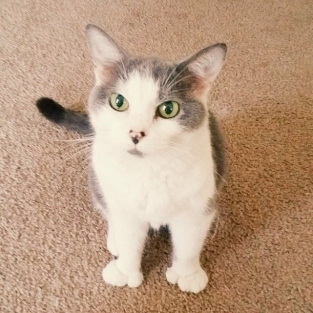 polydactyl-cats-05