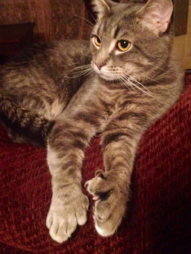 polydactyl-cats-17