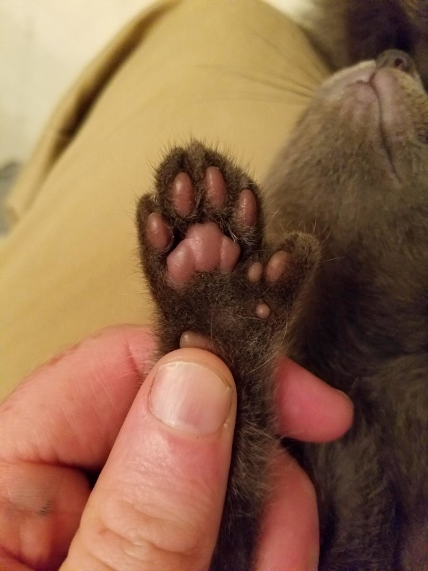 polydactyl-cats-19